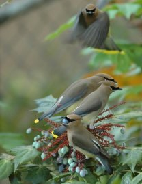Cedar Waxwings on the Grape Mahonia bush;  original photo by Janet Weeks