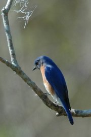 Bluebird, Ossabaw Island, original photo by Janet Weeks