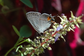 Gray Hairstreak in North Georgia, by Janet Weeks