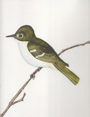 Acadian Flycatcher, Original Watercolor by Janet Weeks