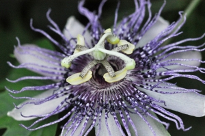Passion Flower, Original Photograph by Janet Weeks (Click to enlarge.)