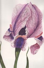 """""""Iris,""""  Original Watercolor by Janet Weeks"""