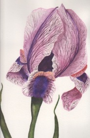 """Iris,""  Original Watercolor by Janet Weeks"