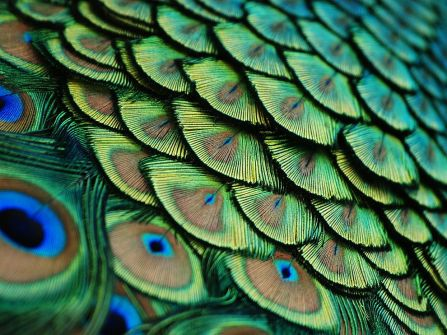 Peacock, Florida, Photograph by Lorenzo Cassina