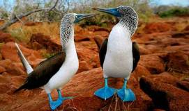 Blue-footed Boobies. Photo: dereklow.com